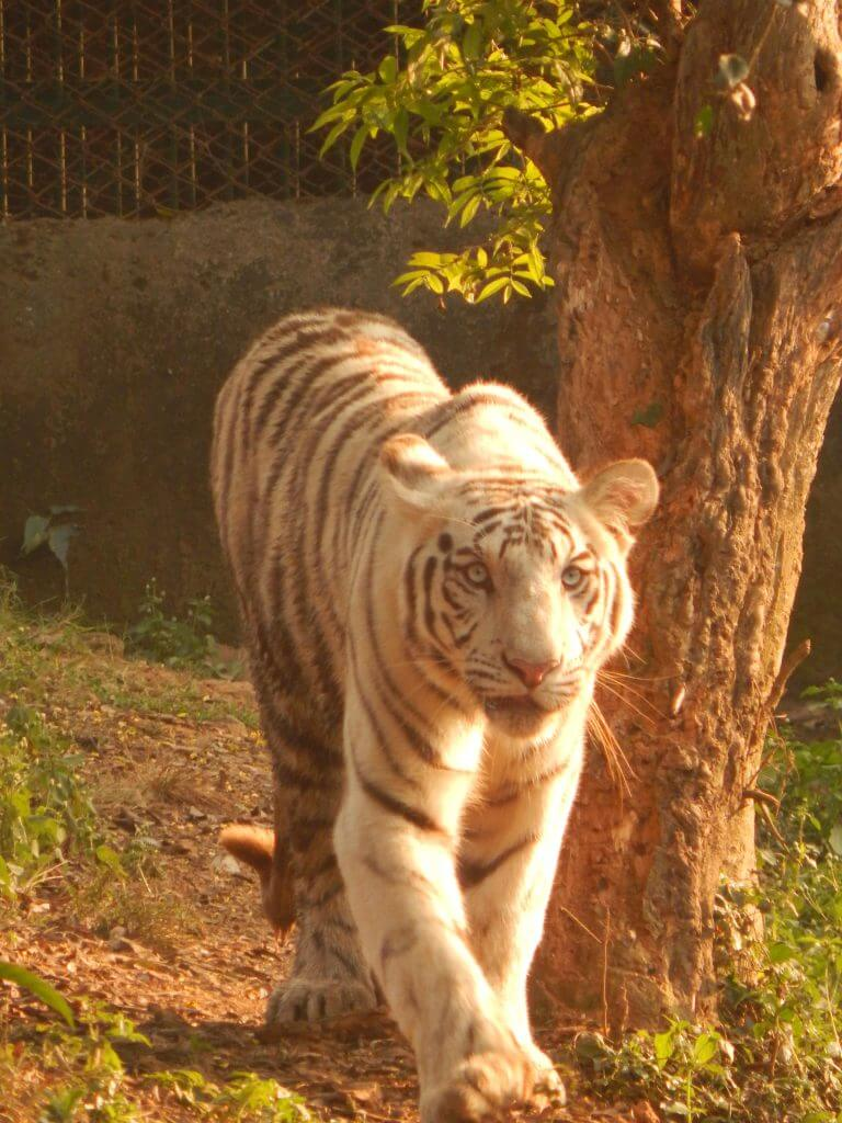 whitw tiger 2