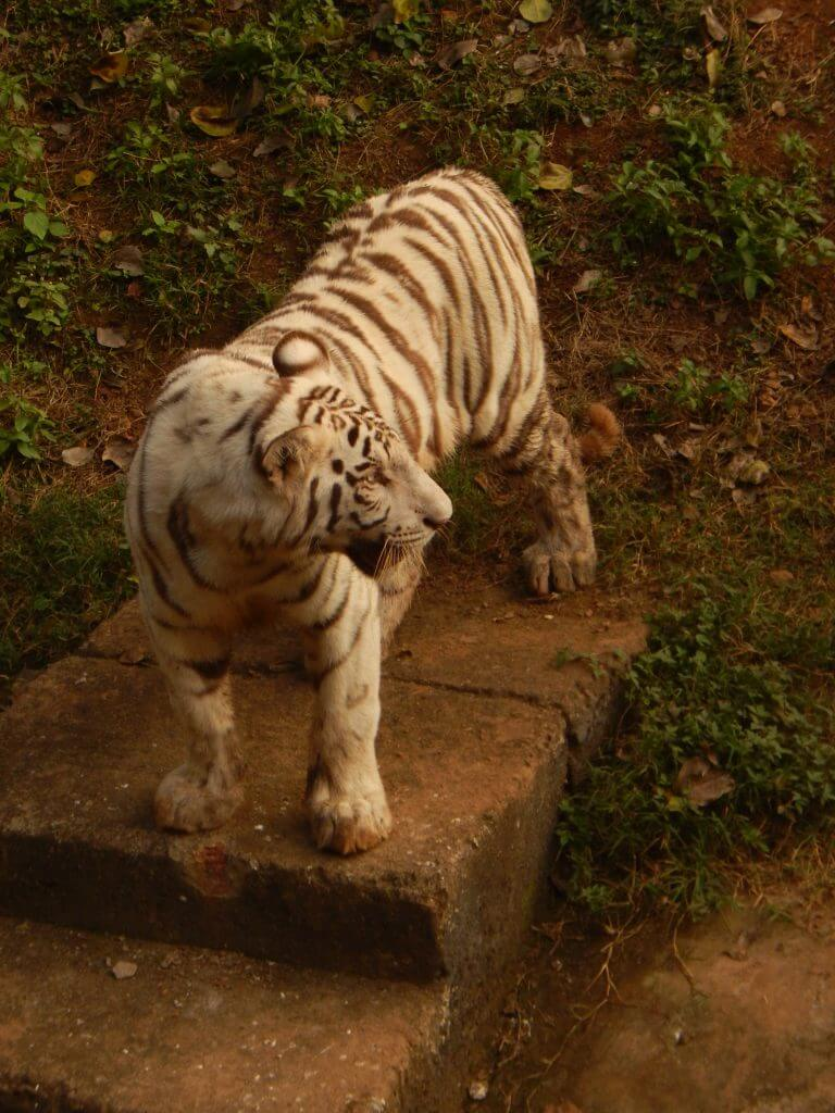 white tiger 3